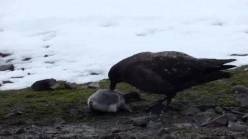 Skua Eats Baby Penguin Alive